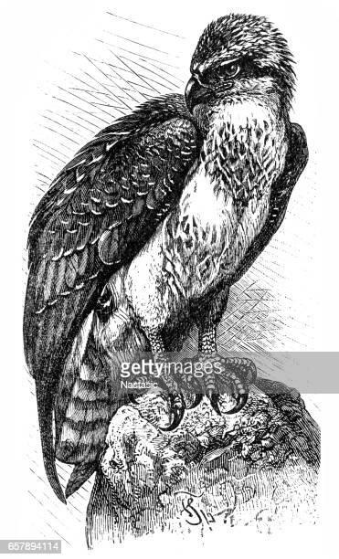 osprey (pandion haliaetus) - hawk bird stock illustrations, clip art, cartoons, & icons