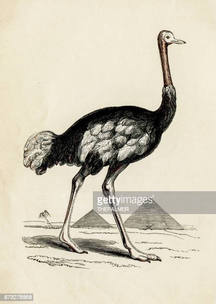 ostrich bird engraving 1851 - ostrich stock illustrations, clip art, cartoons, & icons