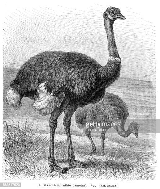 ostrich  bird engraving 1895 - ostrich stock illustrations, clip art, cartoons, & icons