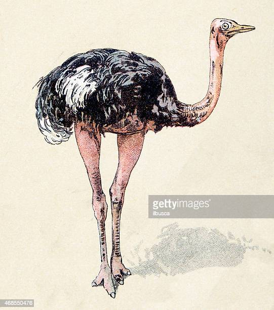 ostrich, birds animals antique ilustration - ostrich stock illustrations, clip art, cartoons, & icons