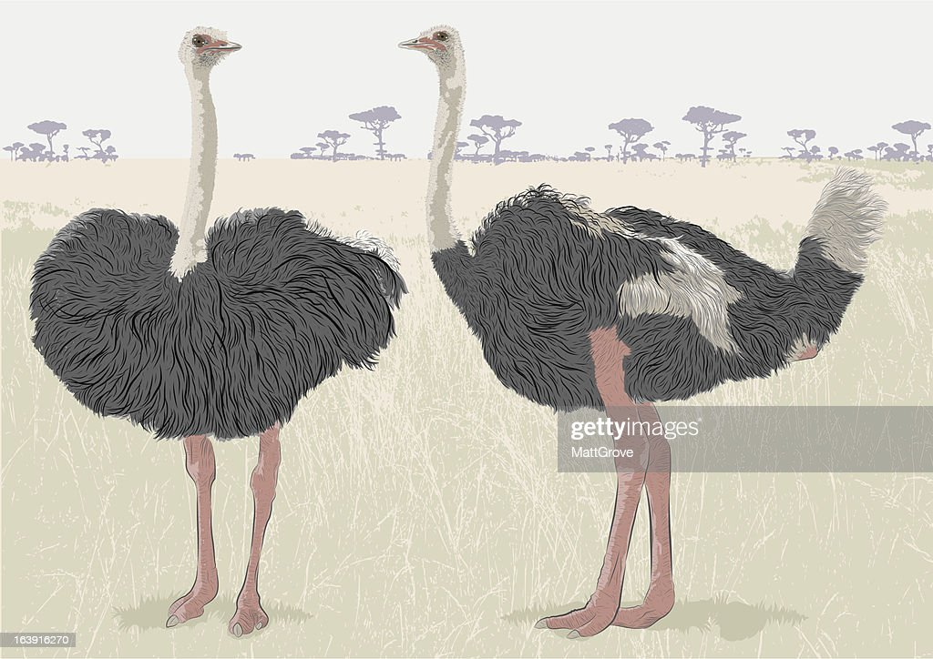 Ostrich Conversation : stock illustration