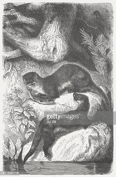 otters (lutra lutra), wood engraving, published in 1875 - giant otter stock illustrations