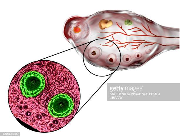 ovarian follicles, micrograph and illustration - gynecological examination stock illustrations, clip art, cartoons, & icons