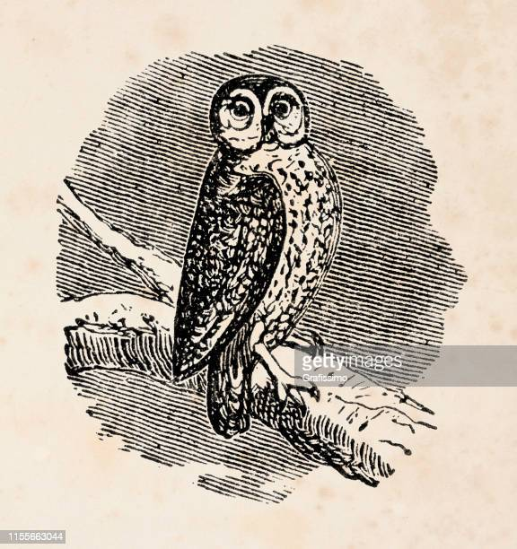 illustrations, cliparts, dessins animés et icônes de illustration de hibou 1888 - un seul animal