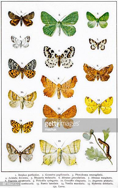 owlet, magpie and other moths - zoology stock illustrations