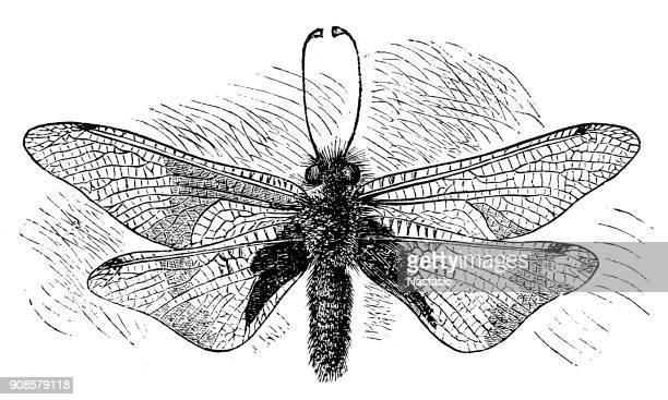 Owlfly (Libelloides Macaronius)