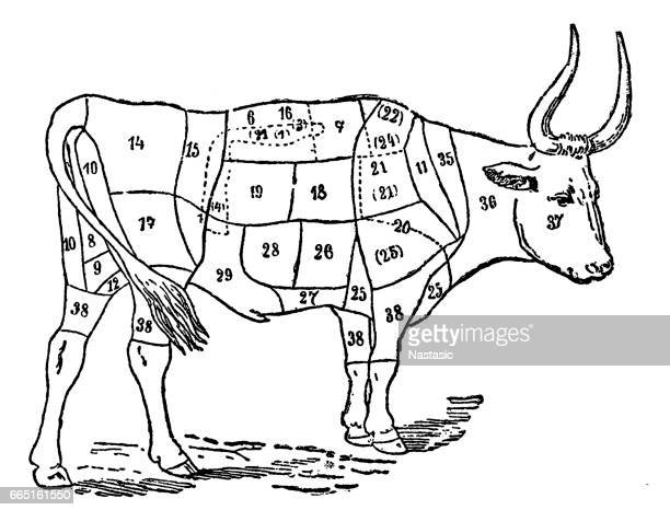 ox body parts - wild cattle stock illustrations, clip art, cartoons, & icons