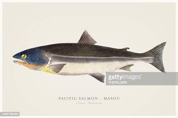 illustrations, cliparts, dessins animés et icônes de pacific salmon illustration 1856 - saumon