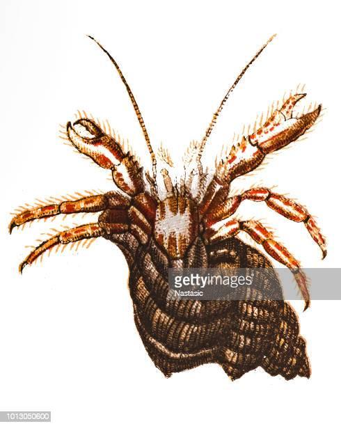 Pagurus bernhardus is the common marine hermit crab ,common hermit crab or soldier crab