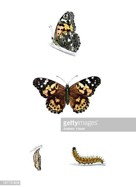 painted lady - hand coloured engraving - caterpillar stock illustrations
