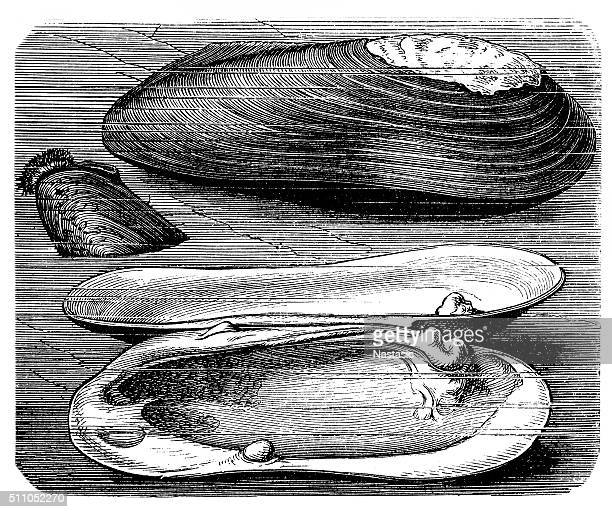 World's Best Oyster Pearl Stock Illustrations - Getty Images