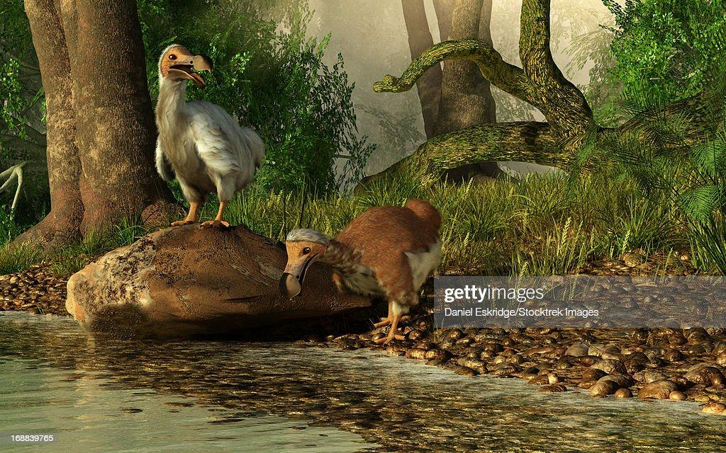 A pair of Dodo birds drinking at a river. : Stock Illustration