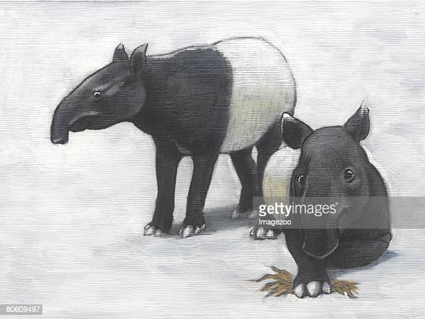 A pair of Malaysian tapirs