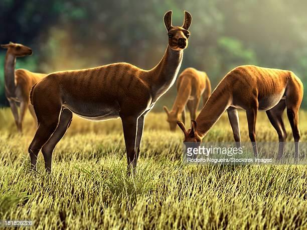 ilustraciones, imágenes clip art, dibujos animados e iconos de stock de palaeolama niedae, an extinct south american genus of llama camelid. it lived 10 000 years ago and weighed around 300 kg.  - paleozoología