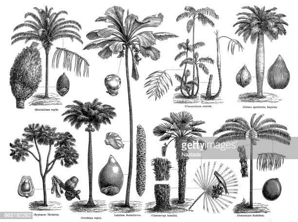 palms - printout stock illustrations