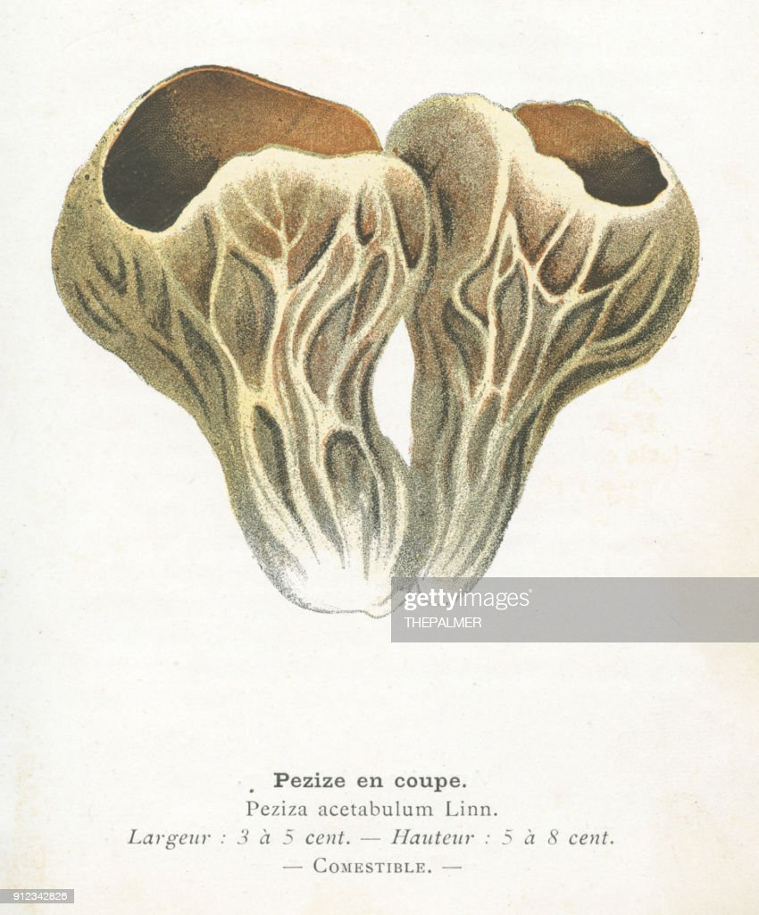 Palomino Cup Mushroom Engraving 1895 Stock Illustration | Getty Images