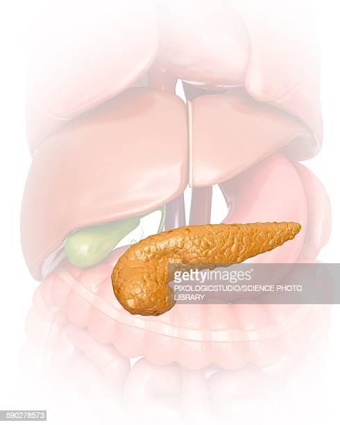pancreas, illustration - pancreas stock illustrations
