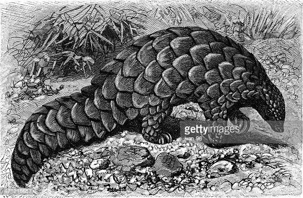 illustrations, cliparts, dessins animés et icônes de pangolin terrestre du - pangolin