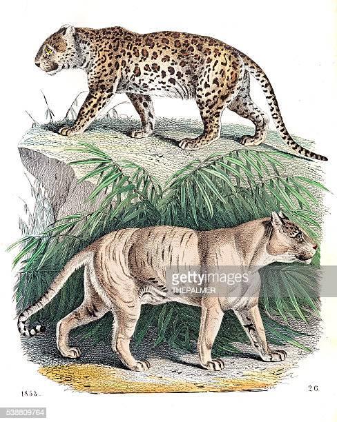 panter and lion-tiger engraving 1853 - mammal stock illustrations, clip art, cartoons, & icons