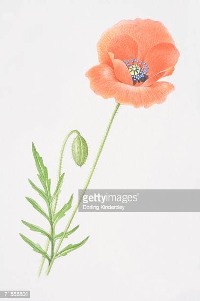papaver rhoeas, common poppy. - oriental poppy stock illustrations, clip art, cartoons, & icons