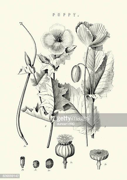 papaver somniferum, the opium poppy - poppy stock illustrations, clip art, cartoons, & icons