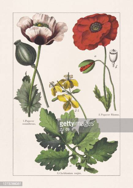 papaveraceae, chromolithograph, published in 1895 - chromolithograph stock illustrations