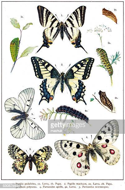 Papilio Machaon and Swallowtail butterflies