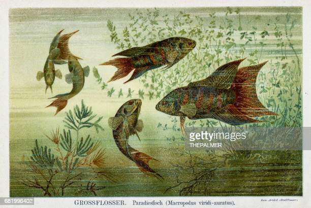 Paradise fish lithography 1895