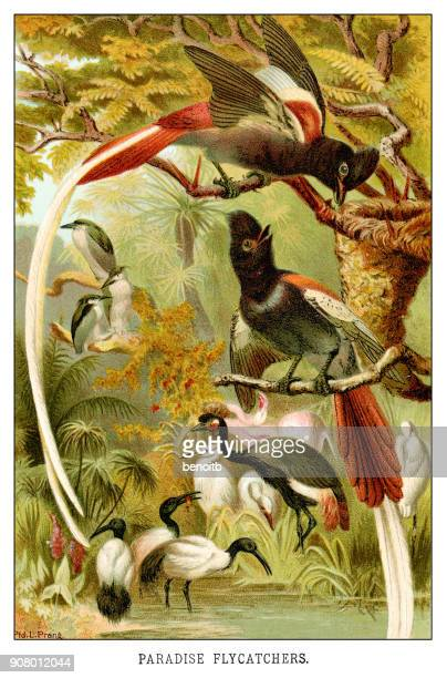 paradise flycatchers - history stock illustrations