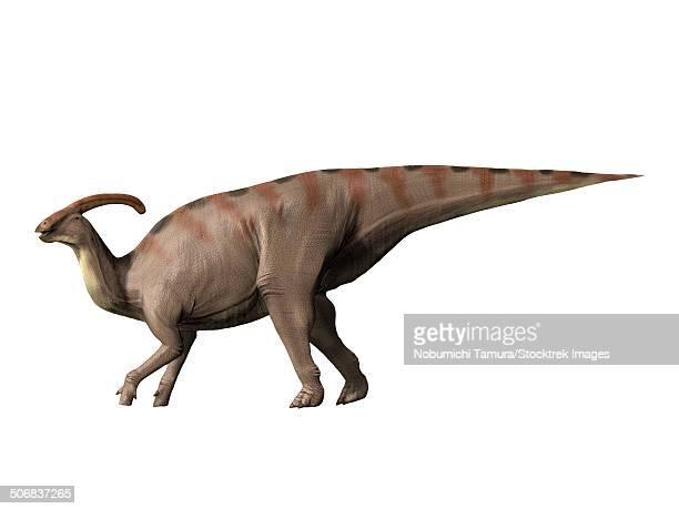 Parasaurolophus dinosaur, white background.