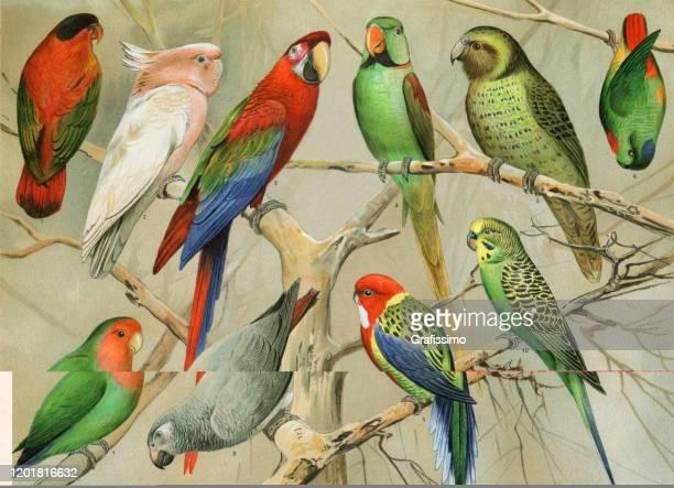 ilustraciones, imágenes clip art, dibujos animados e iconos de stock de cocamato de loro budgerigar en la ilustración de la selva tropical - pájaro tropical