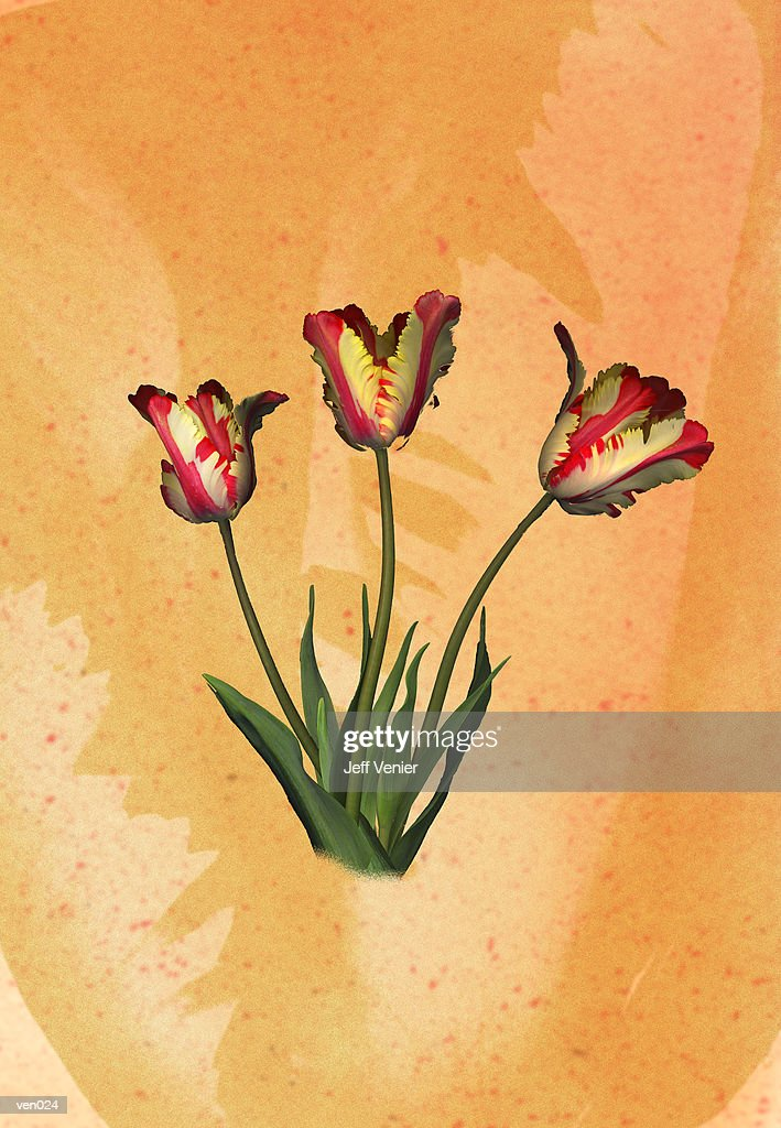 Parrot Tulips : Stockillustraties