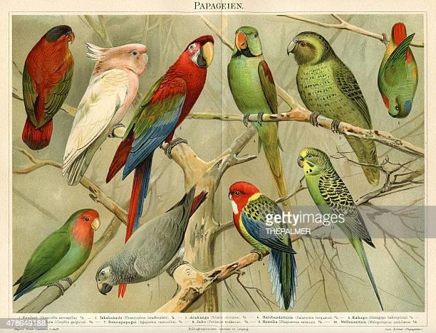 ilustraciones, imágenes clip art, dibujos animados e iconos de stock de parrots cromolitografía 1896 - monoimpresión