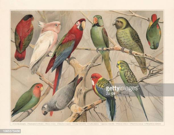 Parrots (Psittaciformes), chromolithograph, published in 1897