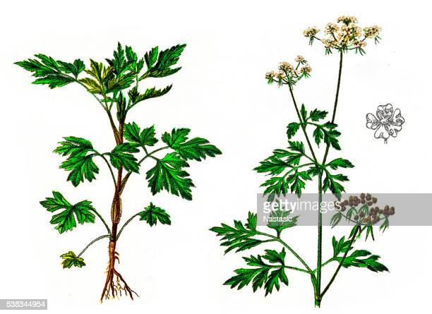 Parsley or garden parsley (Petroselinum crispum)