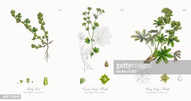 ilustraciones, imágenes clip art, dibujos animados e iconos de stock de son perejil, alchemilla arvensis, victoriano ilustración botánica, 1863 - planta de manzanilla