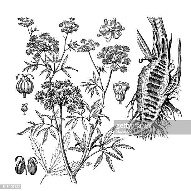 parsnip, coriander, hartwort, hemlock (cicuta virosa) - parsnip stock illustrations, clip art, cartoons, & icons