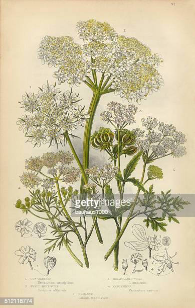 parsnip, coriander, hartwort, hemlock, victorian botanical illustration - parsnip stock illustrations, clip art, cartoons, & icons