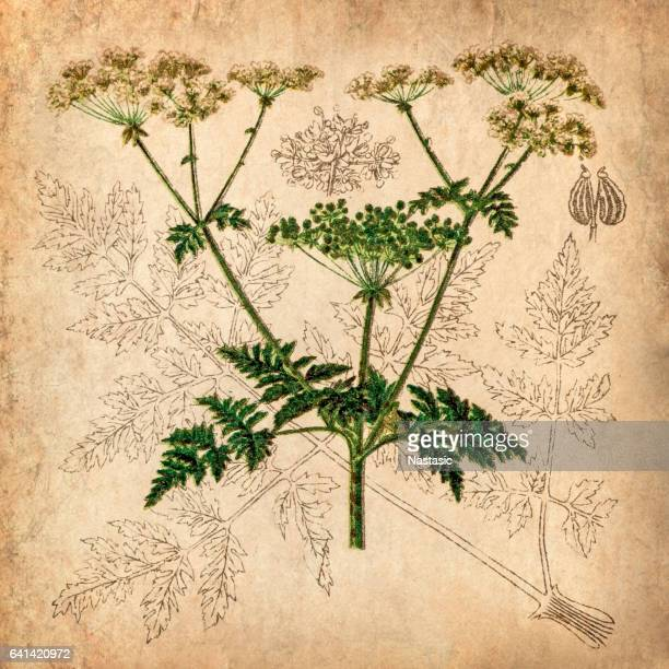 parsnip, coriander, hartwort, poison hemlock (conium maculatum) - parsnip stock illustrations, clip art, cartoons, & icons