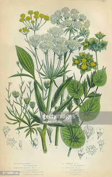 parsnip, haresear, hare's ear, victorian botanical illustration - parsnip stock illustrations, clip art, cartoons, & icons
