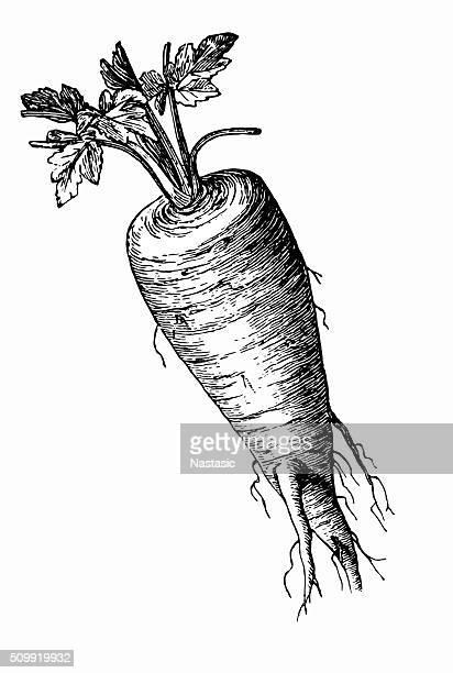 parsnip (pastinaca sativa) - parsnip stock illustrations, clip art, cartoons, & icons