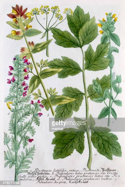 parsnips - antique botanical engraving - parsnip stock illustrations, clip art, cartoons, & icons