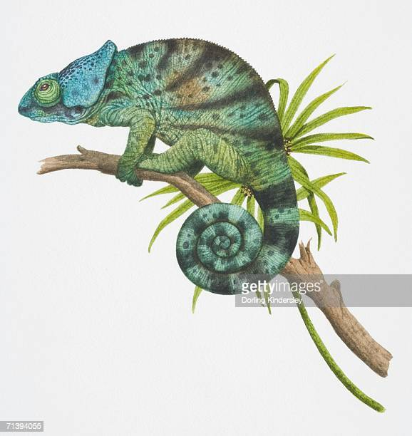 parson's chameleon, calumma parsonii, side view. - chameleon stock illustrations, clip art, cartoons, & icons