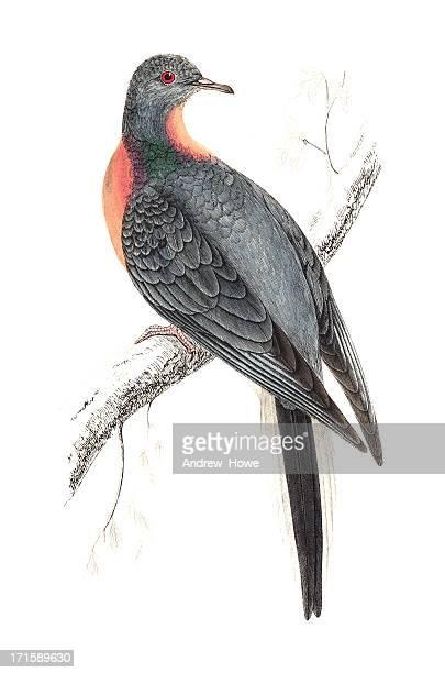 passenger pigeon - hand coloured engraving - pigeon stock illustrations