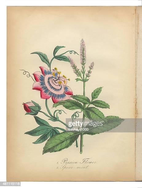 Fleur de la Passion et de menthe verte pour vous abandonner Victorian Botanical Illustration