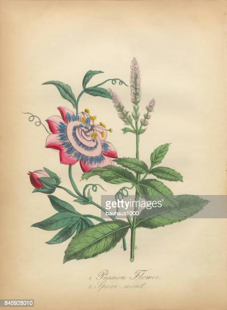 passion flower and spearmint victorian botanical illustration - mint leaf culinary stock illustrations, clip art, cartoons, & icons