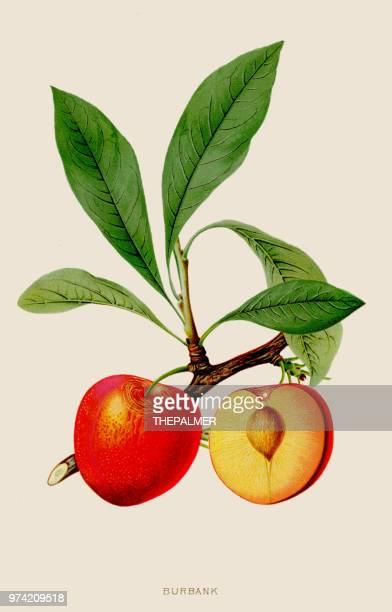 ilustrações de stock, clip art, desenhos animados e ícones de peach burbank illustration 1891 - litografia