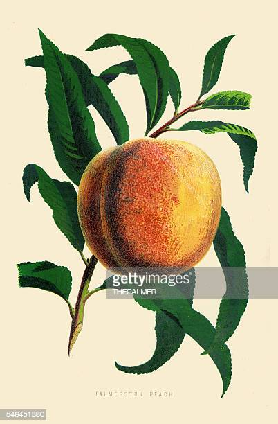 peach illustration 1874 - peach stock illustrations