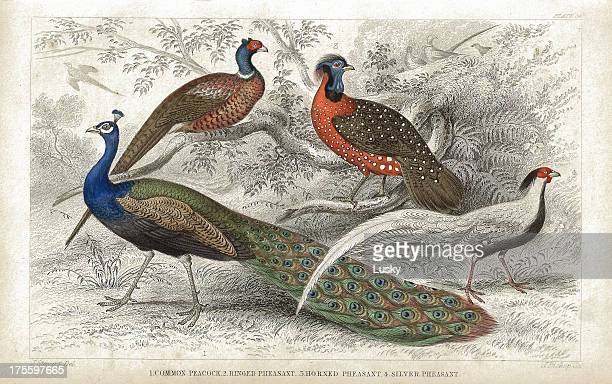 peacock and pheasants old 1852 litho print - lithograph stock illustrations
