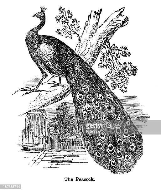 ilustrações, clipart, desenhos animados e ícones de peacock aviso - peahen